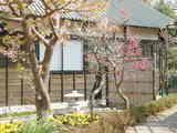 梅に桜 満開です