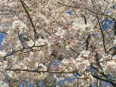 高台寺 満開の桜