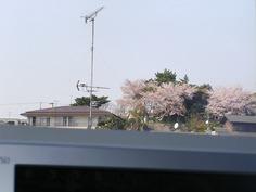 パソコンから見る桜1