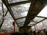 5号車、桜の中走ります