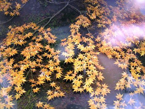 強羅花壇 夜の紅葉