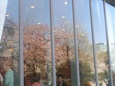 冊 ガラスに映る桜