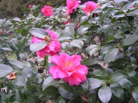長谷寺の山茶花