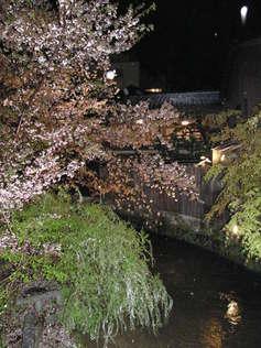 紀子 祇園白川の夜桜