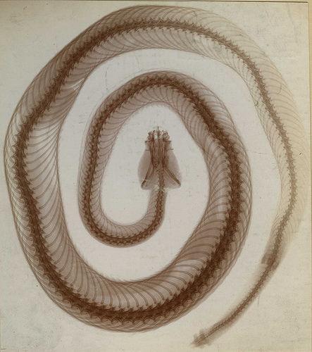Snake radiology