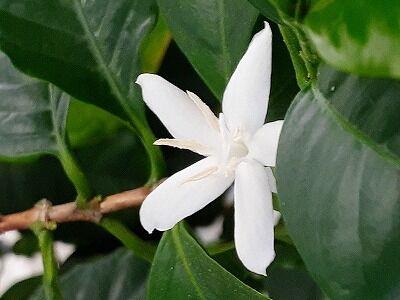 コーヒーの花3