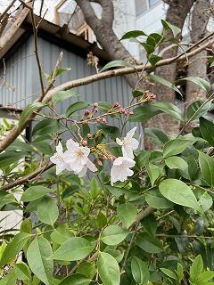 20200323桜2