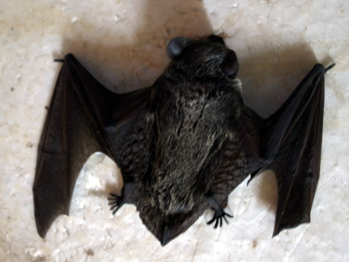 コウモリの画像 p1_24