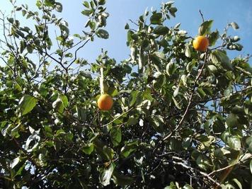 伊達市の柿