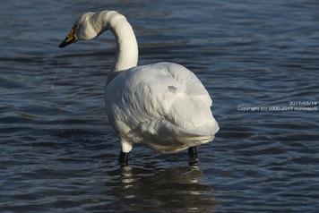 長流川の白鳥