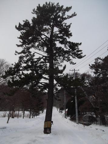 あんぽんたんの木