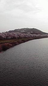 船岡城址 桜1