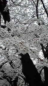 船岡城址 桜2