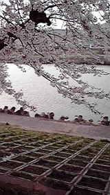 船岡城址 桜3