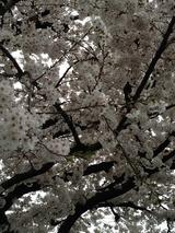 桜写真-79