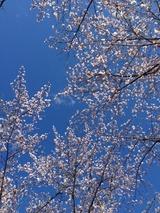 桜1写真-89