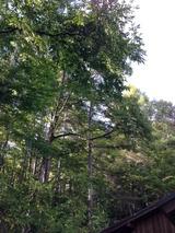 写真-7栗の木