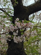 桜写真-63