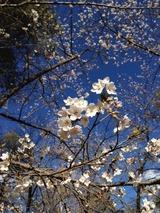 桜2写真-90