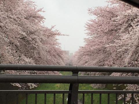 4月5日残堀川松ノ木橋