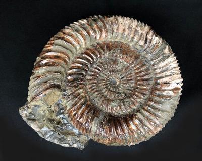 fossil_L