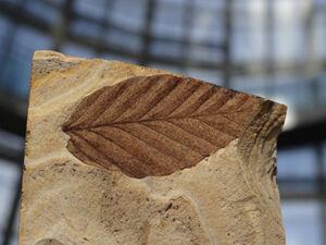 木の葉化石