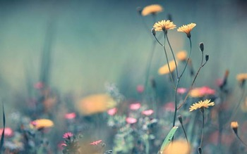 wallpaper-daisy-photo-06