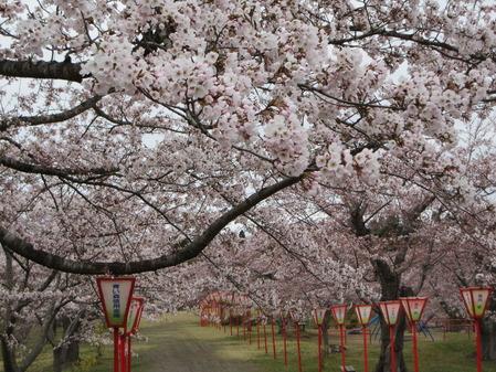 早掛沼公園 3~5分咲き