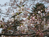 Cherry tree flowered with both venues