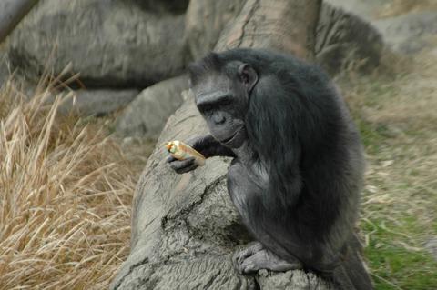 天王寺動物園で節分イベント、恵方巻きをチンパンジーにプレゼント