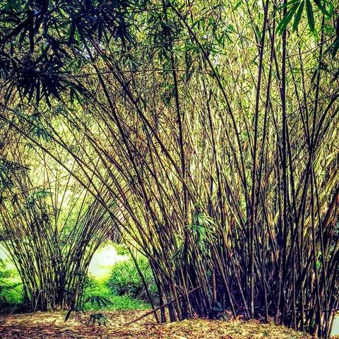 竹の写真のコピー