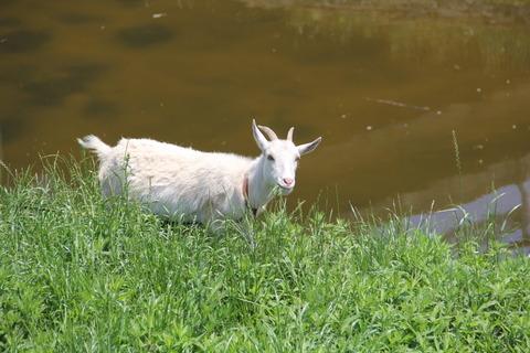 山羊 (3)