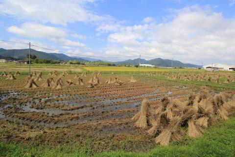 稲田の風景