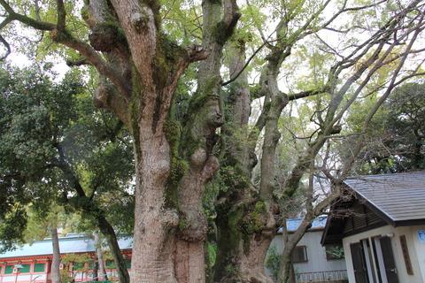 長田神社ご神木