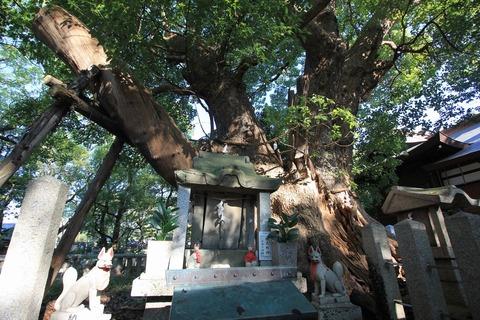 信太森葛葉稲荷神社の楠