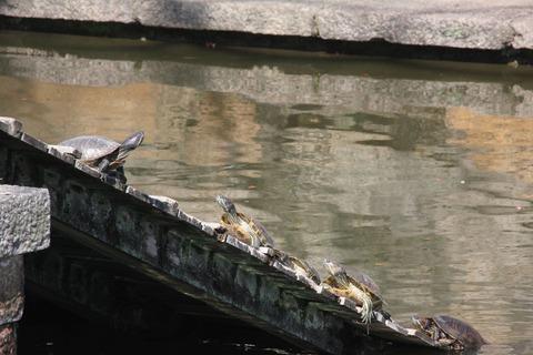 亀の池(放生会で放れた数多の亀が生息)