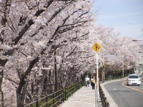 阪大の桜1