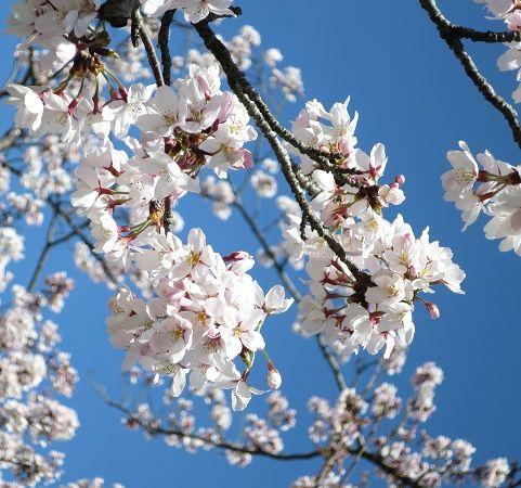 阪大桜 (4)