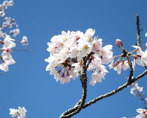 阪大桜 (5)