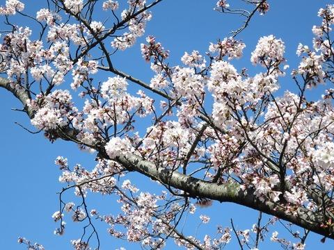 阪大桜 (6)