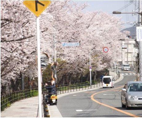 阪大の桜4