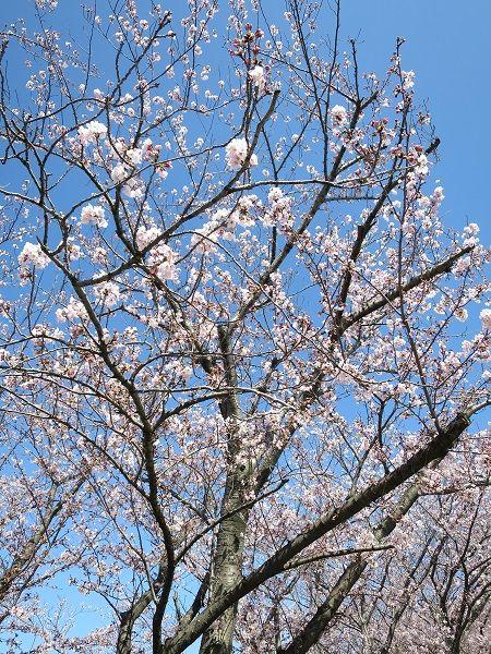 阪大桜 (3)