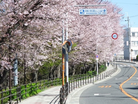 阪大桜 (1)