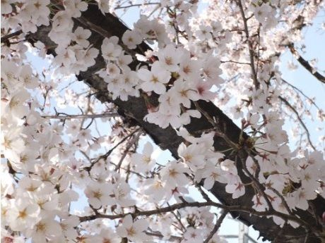 阪大の桜2