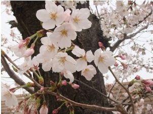 箕面桜通り2