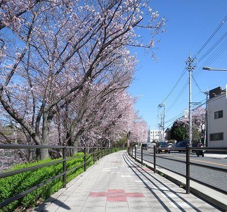 阪大桜 (2)