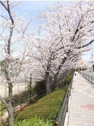 阪大の桜3