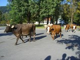 March of cows
