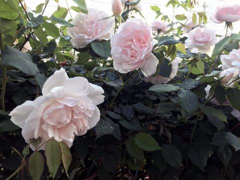 20200615_rose1