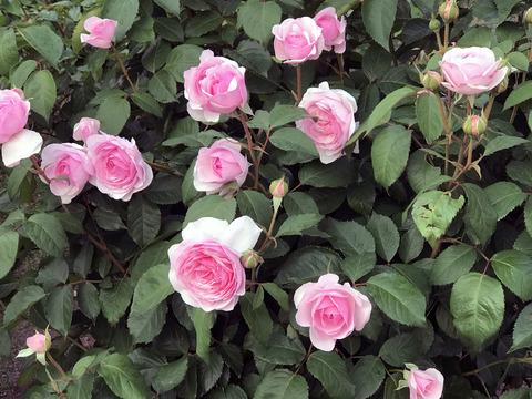 20200615_rose3